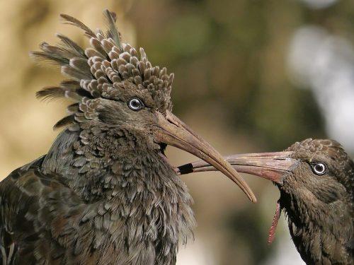 7 Days Ethiopia Birds Tours