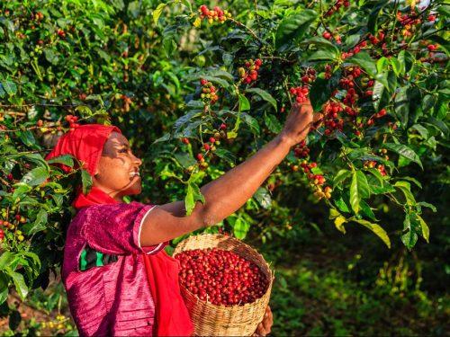8 Days Ethiopia Coffee Tours